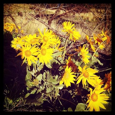 wild sunflowers - nils